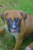 Closeup little Boxer puppy looking at the camera. Royalty Free Stock Images
