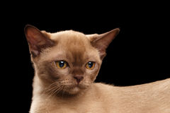 Closeup Little Burmese kitten with Back, beige fur, Isolated black Royalty Free Stock Photo