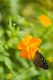 Closeup little butterfly on yellow flower blossom Royalty Free Stock Photo