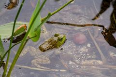Closeup of a little frog swimming in the water. A closeup of a little frog swimming in the water stock photos