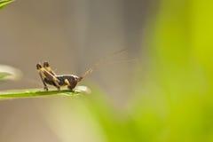 Closeup of little grasshopper Stock Photography