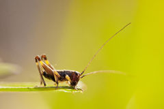 Closeup of little grasshopper Stock Images