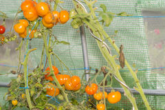 Closeup into a little greenhouse on ripe organic orange tomatoes Royalty Free Stock Images