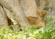 Closeup little Lion Cubs Royalty Free Stock Photos