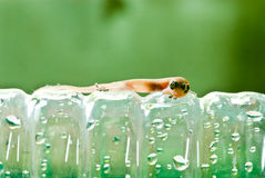 Closeup of little lizard on plastic bottle Stock Photography