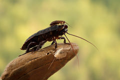 Closeup little Madagascar cockroach is sitting on a large cockroach on a green leaves background Royalty Free Stock Photos