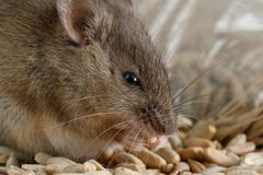 Closeup little mouse gnaws the a grain of rye near of package of grain. Stock Photos
