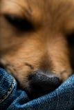 Closeup of little sleeping dog's nose Royalty Free Stock Photos