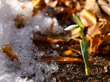 Closeup of little snowdrop in spring season Royalty Free Stock Photos