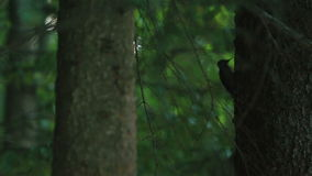 Closeup of little woodpecker knock in trunk tree for insect food in beautiful summer day in mountains stock footage