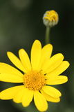 Closeup of a little yellow flower and blur dark green background. Details Stock Images