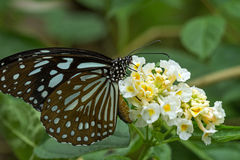 Closeup of a Liuchiou Blue Spotted Milkweed Butterfly Royalty Free Stock Photos