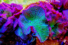 Bright Colored Live Coral. Closeup of live coral in bright colors of green, purple, blue and magenta stock photography