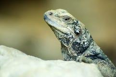Closeup of Lizard. Closeup of a lizard looking at you. Shallow DOF royalty free stock photo