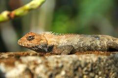 Closeup of lizard Royalty Free Stock Photos