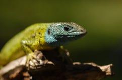 Closeup of a lizard Stock Photos