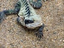 Closeup of a lizard dragon on sand. Wild nature Stock Photos