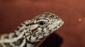 Closeup of lizard with red blurred background Stock Image