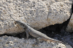 Closeup lizard on a rock Stock Image
