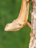 Closeup lizard on tree Royalty Free Stock Image
