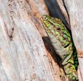 Lizard's eye Stock Photography
