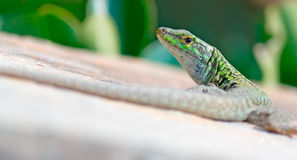 Lizard's look Royalty Free Stock Photos