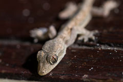 Closeup lizard Royalty Free Stock Photos