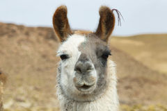 Closeup of a Llama in northern Argentina Royalty Free Stock Photography