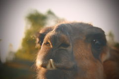 Closeup of llama teeth with vintage effect Royalty Free Stock Images