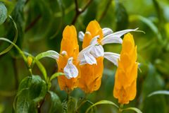 Lollipop plant, white flower emerging from yellow bracts. Also c. Closeup of Lollipop plant, white flower emerging from yellow bracts. Also called Golden shrimp Stock Photography