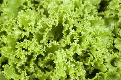 Closeup of lollo biondo lettuce Royalty Free Stock Images
