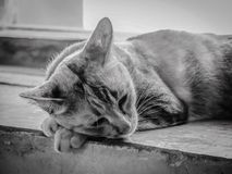Closeup Lonely Sleepy Cat Royalty Free Stock Image