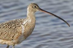 Closeup of a Long-billed Curlew  - Monterey Peninsula, Californi Stock Photos