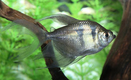 Closeup of a Long Finned Black Skirt Tetra Stock Images