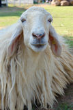 Closeup of long wool sheep on the farm Royalty Free Stock Photography