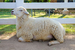 Closeup of long wool sheep on the farm Royalty Free Stock Images