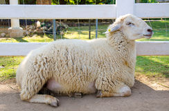 Closeup of long wool sheep on the farm Stock Image