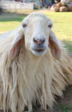 Closeup of long wool sheep on the farm Stock Images
