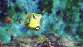 Closeup of a longhorn cowfish, vibrant yellow horned fish with white dots, popular and funny aquarium pets. A closeup of a longhorn cowfish, vibrant yellow stock video footage