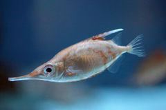 Closeup of a longspine snipefish Royalty Free Stock Photography
