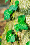 Closeup look of ivy in forest Royalty Free Stock Photography
