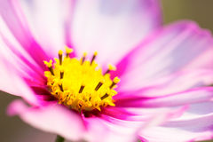 Closeup look of Pink cosmos Royalty Free Stock Photo