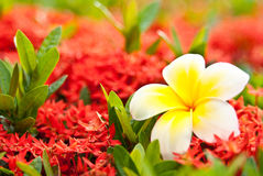 Closeup loss Leelawadee on blur red flower Royalty Free Stock Photography
