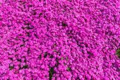 Closeup of a lot of purple aubrieta flowers. Switzerland stock photography