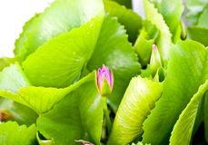 Closeup of lotus Stock Photos
