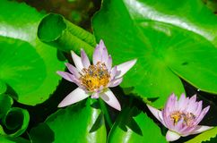 Closeup lotus bee swarm Stock Image