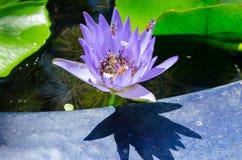 Closeup lotus bee swarm Stock Photos