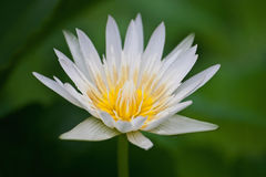 Closeup lotus flower Royalty Free Stock Image