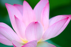 Closeup of lotus flower Royalty Free Stock Photos