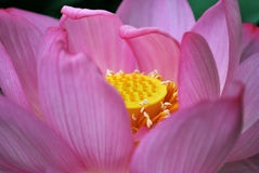 Closeup of lotus flower Stock Images